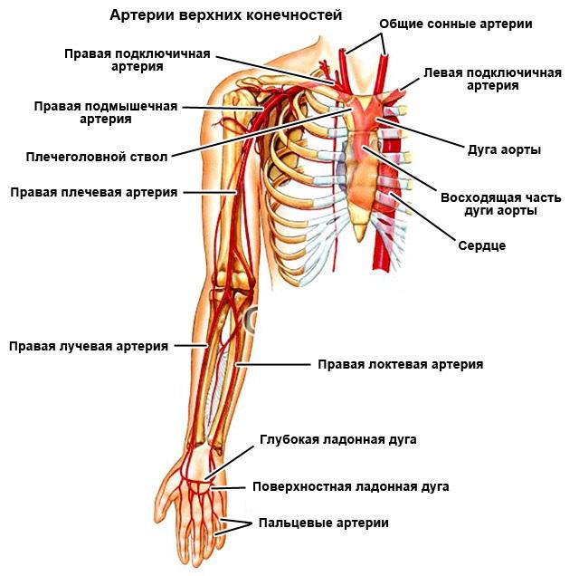 артерии верхних конечностей